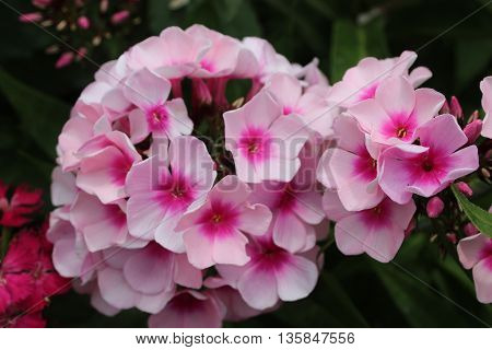 Large light and bright pink flowers side view