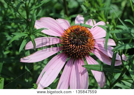 Large pink  daisy flower with green leaves and shadows