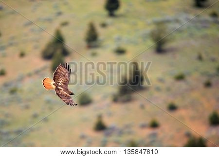 Red-tailed hawk flying with wings spread out.