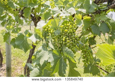 Green Grapes growing on a vine in a vineyard.