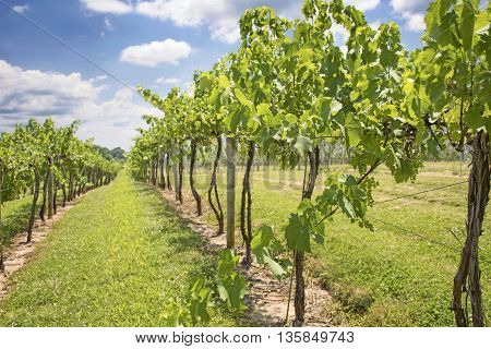 Row of a vineyard with Green Grapes growing.