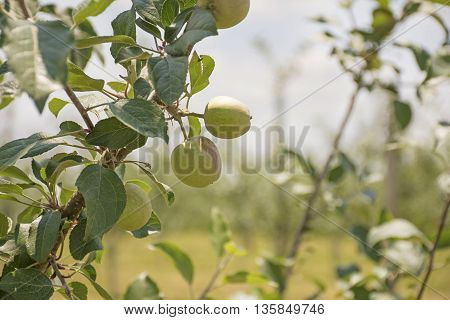 Peaches growing on a tree in an orchard.