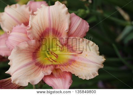 Light pale pink lily flower top view