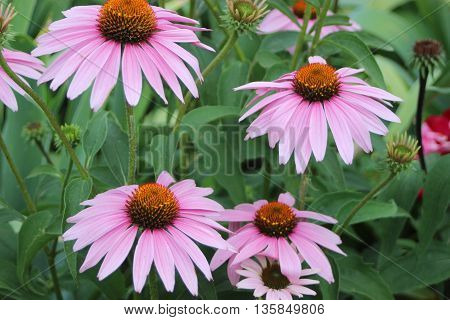 Four purple daisy flowers top view  in a bunch