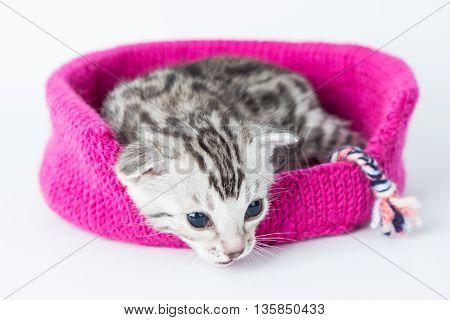 Silver bengal kitten cat small leopard cute beautiful