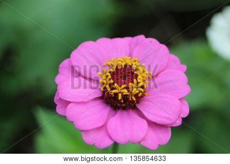 Big pink flower yellow middle top view
