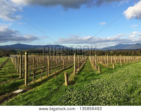 Fresh Green Vineyards Near Mountains