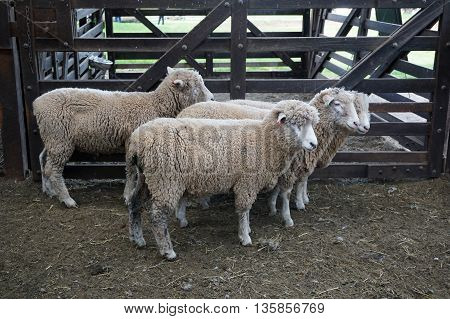 White Sheep In Fence