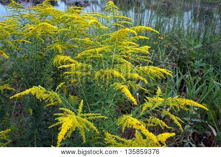 Canada goldenrod (Solidago canadensis) blooms near a small lake in Shorewood, Illinois during August.