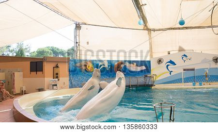 Belek, Turkey - October 04, 2014: Dolphins Show, Troy Dolphinarium. Two Beluga Whales