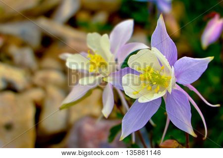 Beautiful Alpine Wildflower. Columbine (Aquilegia)  The Snowy Range, Wyoming
