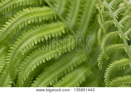 Close up of green ostrich ferns leaves