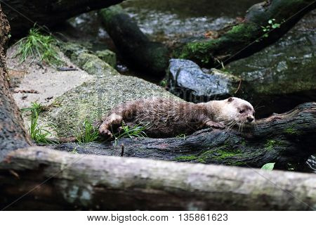 An Asia Small Clawed Otter scratching itself against a tree log