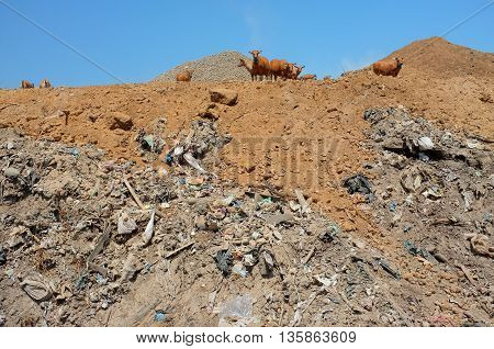 BALI INDONESIA - APRIL 30: A herd of cows scavenge amid plastic bags poisonous household trash and toxic industrial waste next to contaminated water at the biggest and most polluted landfill site on April 30 2016 in Bali Indonesia.