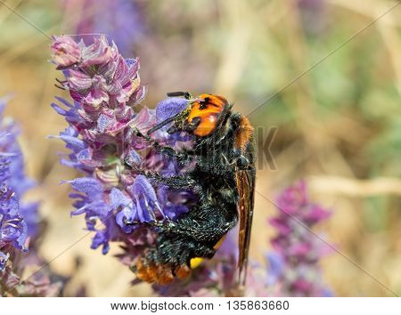 large beautiful wasp on a purple flower