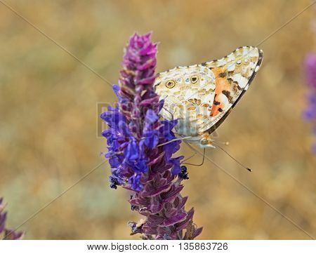 big beautiful butterfly sits on a flower
