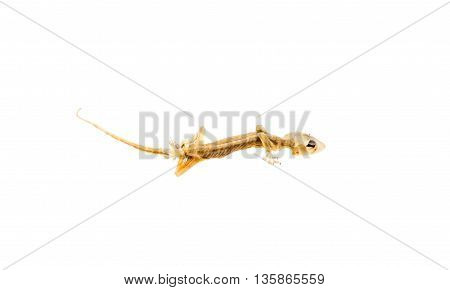 dry dead lizard isolated on white background.