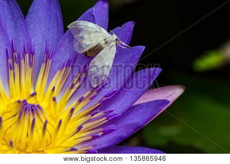 a cute white moth on purple lotus