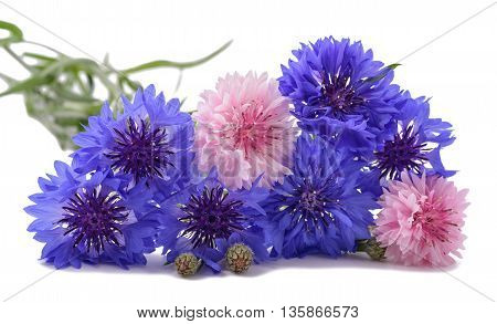 Blue and pink Cornflowers isolated on white