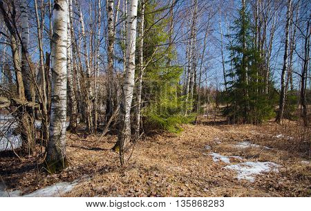 The natural wood in Russia in the sunny spring afternoon