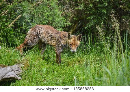 Beautiful Old Female Vixen Fox In Long Summer Grass In Field