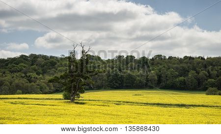 Beautiful Landscape Image Of Field Of Rapeseed Canola In Spring In English Countryside