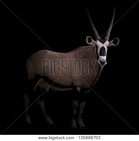 Gemsbok Or Oryx