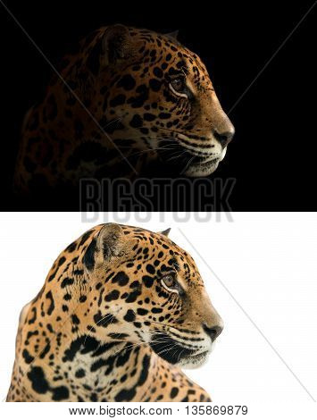 Jaguar On Black And White Background