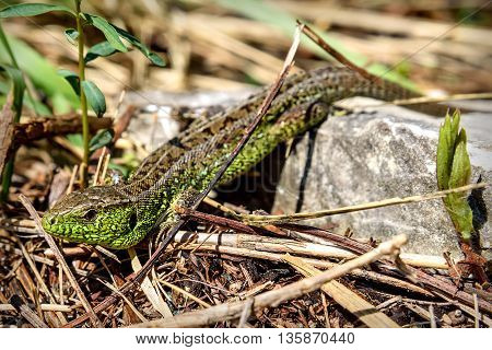 Natural animal background with beautiful green and brown lizard closeup sitting on a rock in the mountains