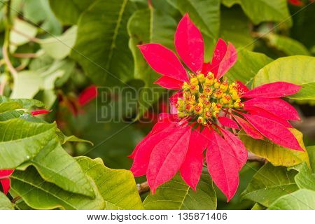 detail of red poinsettia plant in bloom