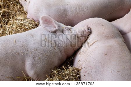 Large White Swine Sleeping On Straw