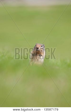 Gopher in a meadow