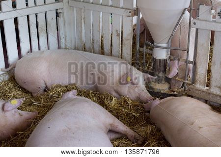 Pigs Eating From Hog Feeder