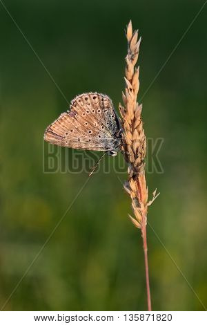 Blue butterfly sitting on a stalk of grass