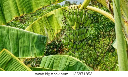 Green banana bunch on the banana tree in Vietnam