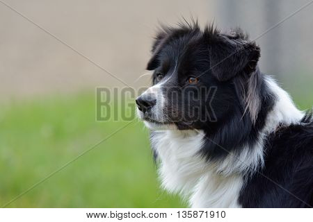 border colie as portrait of a pet