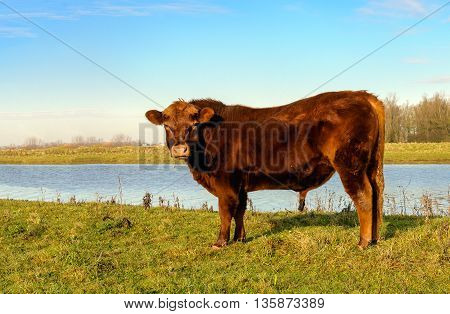 Proud Galloway bull posing on the waterfront. It is a sunny in the beginning of the winter season.
