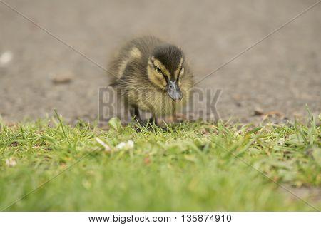 Mallard duckling on the ground, close up