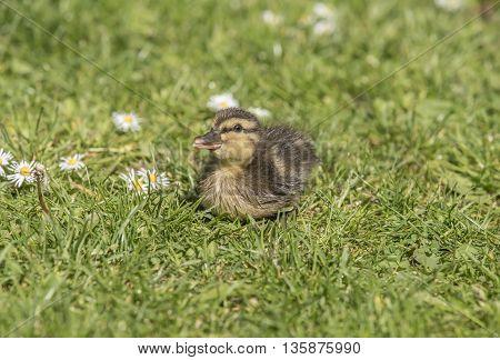 Mallard duckling on the grass, close up