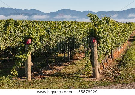 close up of rows of grapevine growing in New Zealand vineyard