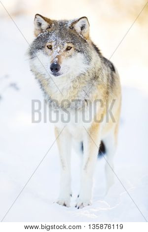 One wolf standing in the woods a cold winter day. Snow on the ground and on the trees.