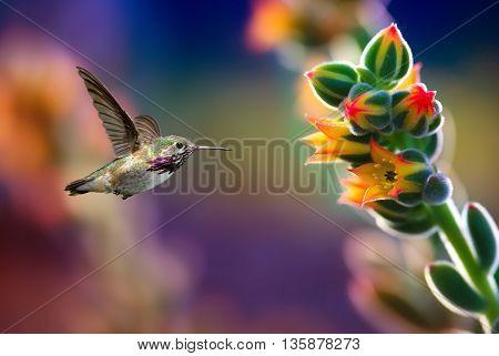 Hummingbird in motion approaching bright beautiful flower