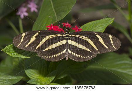 Zebra longwing Butterfly on a flower, close up