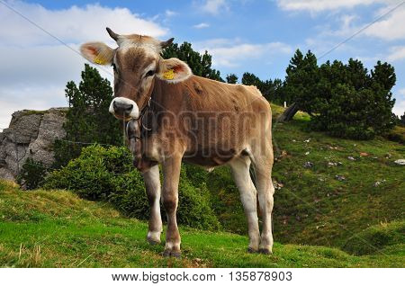 Young cow on a Alps pasture in Switzerland