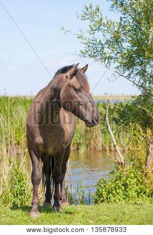 brown konik horse in a Dutch wetland
