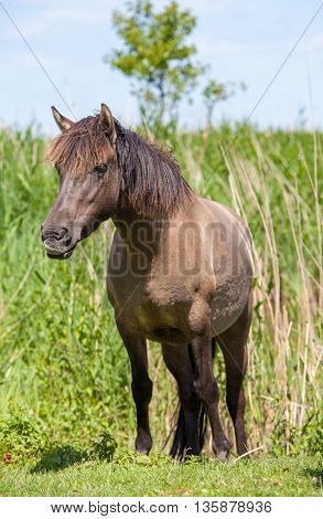 dark coloured konik horse with ears pricked forward