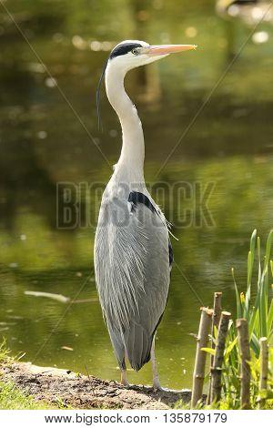 Close up of a wild Grey Heron