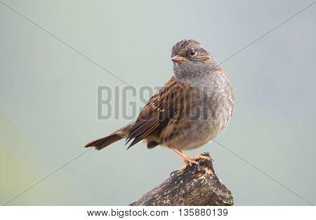Small songbird Dunnock (Prunella modularis) on a stump. Blurred homogeneous background