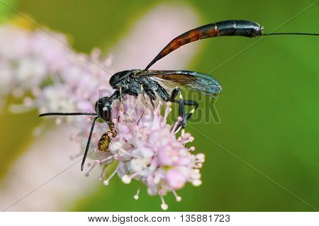 Gasteruptiidae wasp on flowering tamarisk eats victim