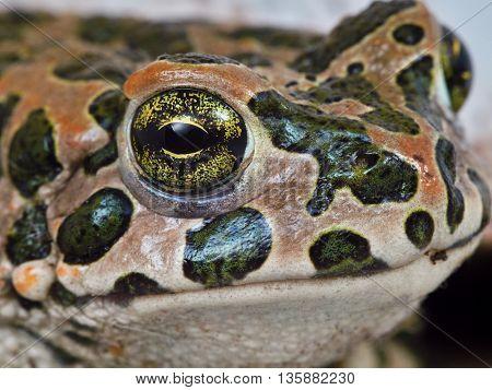 Cute little face serious frog close up (portrait)